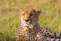 Cheetah lying in the grass. Cheetah lying in the savanna and looking Royalty Free Stock Photos