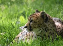 Cheetah Head and Face focus in Grass stock images
