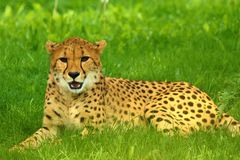Cheetah lying on green grass stock photo