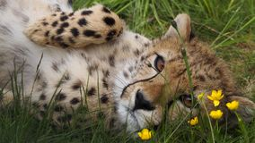 Cheetah in flowerbed. Cheetah lying on its back in the grass with buttercups Stock Photos