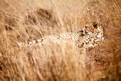 Cheetah. Lying in long grass Royalty Free Stock Photos