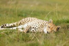 Cheetah lying in meadow. Cheetah  Acinonyx jubatus lying in meadow Stock Photos