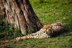 Cheetah Lying Near Tree Royalty Free Stock Photo