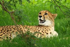 Cheetah Lying On Grass Stock Photo