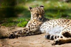 Cheetah lying over ground Stock Photo