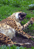 Cheetah lying in the park. Yawns Royalty Free Stock Image