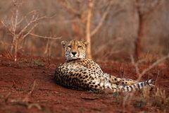 The cheetah lying on a red earth with bushy bushes in the background in the morning light Stock Image
