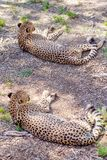 A Cheetah Lying At Rest stock photography