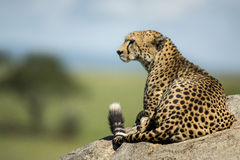 Cheetah lying on a rock, Serengeti Stock Photography
