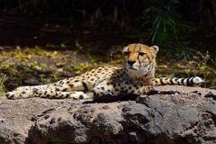 Cheetah lying. In the safari park Royalty Free Stock Photo