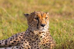 Cheetah lying in the savannah. And scouts Royalty Free Stock Image
