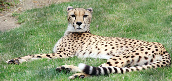 Cheetah Lying in Shade. Beautiful spotted wild cat lays in grass on warm day Royalty Free Stock Image