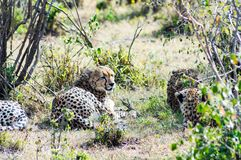 Cheetah lying in the shade of a bush in the savannah. Of the Masai Mara Park in Kenya Stock Images