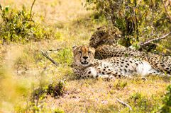 Cheetah lying in the shade of a bush in the savannah of the Mara. Park in Kenya Royalty Free Stock Photo