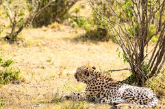 Cheetah lying in the shade of a bush in the savannah of the Mara. Park in Kenya Royalty Free Stock Image