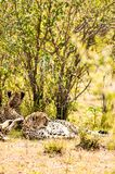 Cheetah lying in the shade of a bush in the savannah of the Mara. Park in Kenya Stock Photos