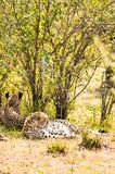 Cheetah lying in the shade of a bush in the savannah of the Mara. Park in Kenya Stock Images