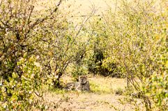 Cheetah lying in the shade of a bush in the savannah of the Mara. Park in Kenya Royalty Free Stock Images