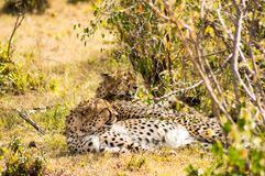 Cheetah lying in the shade of a bush in the savannah of the Mara. Park in Kenya Stock Photo