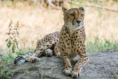 Cheetah lying in the shade Stock Photos