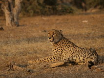 Cheetah. Lying in the sun resting in Kruger Park Stock Photo