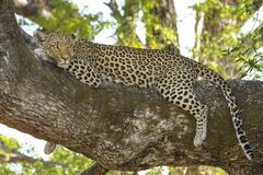 Cheetah Lying on Tree Branch during Day Time Stock Photo