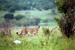 Cheetah, Maasai Mara Game Reserve, Kenya Royalty Free Stock Images