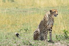 Cheetah male sitting. A male cheetah sitting down whilst staring out across the savannah Royalty Free Stock Photo