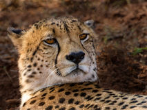 Cheetah male. This cheetah was seen while on a game drive in the Amakhosi game park in Pongola, South Africa Royalty Free Stock Photography