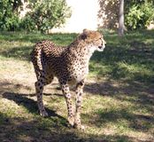 The Cheetah is a mammal carnivore of the cat family Africa middle East leopard spotted Stock Photo