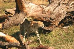 cheetah mara Arkivfoton