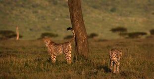Cheetah marking territory Stock Image