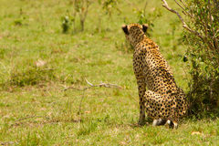 A cheetah at Masai Mara Royalty Free Stock Image