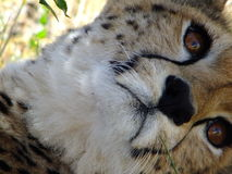 Cheetah in Masai Mara Stock Photo