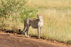 Cheetah in Masai Mara. Cheetah stood by dirt track in Masai Mara, Kenya, Africa Royalty Free Stock Photos