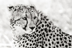 Cheetah in the Masai Mara Royalty Free Stock Photography