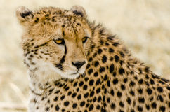 Cheetah in the Masai Mara. In the afternoon Stock Image