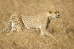 Cheetah Masai mara Kenya Royalty Free Stock Photos