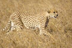 Cheetah Masai mara Kenya royalty free stock photos