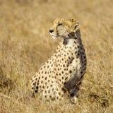 Cheetah Masai mara Kenya Royalty Free Stock Images
