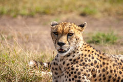Cheetah. Masai Mara Kenya Africa Royalty Free Stock Photography