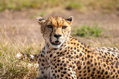 Cheetah. Masai Mara Kenya Africa Royalty Free Stock Photo