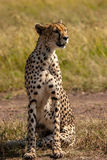 Cheetah. Masai Mara Kenya Africa Royalty Free Stock Images