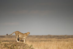 Cheetah in the Masai Mara, Kenya. A cheetah and her cubs looking over the plains in the Masai Mara, Kenya stock photos