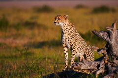 Cheetah in Masai Mara in Kenya. Cheetah in the Masai Mara in Kenya, looking in the distance sitting in the warm light of late afternoon Royalty Free Stock Image