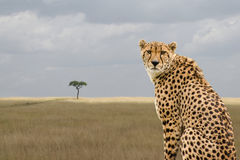 Cheetah, Masai Mara, Kenya Royalty Free Stock Image