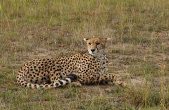 Cheetah in Masai Mara Royalty Free Stock Photography