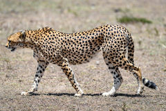 Cheetah. In the Masai Mara to foray stock image