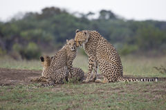 Cheetah mom and cub Stock Photography