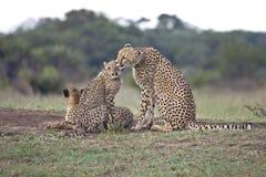 Cheetah mom and cub. Mother cheetah licking her cub Stock Photos